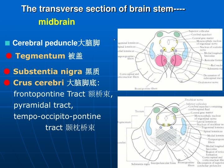 The transverse section of brain stem----