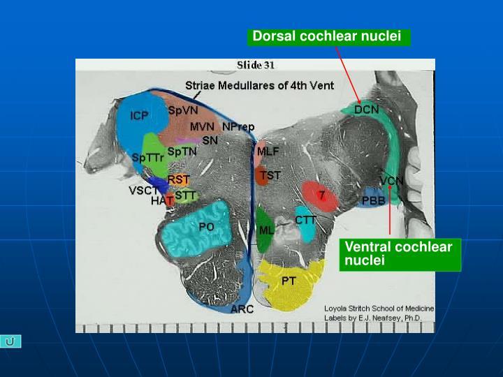 Dorsal cochlear nuclei