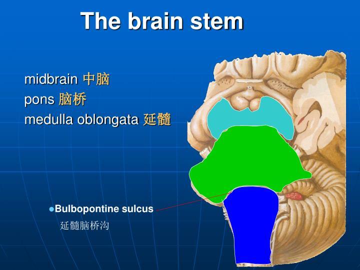 Bulbopontine sulcus