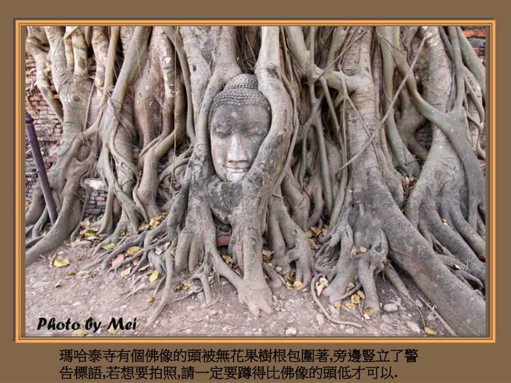 瑪哈泰寺有個佛像的頭被無花果樹根包圍著