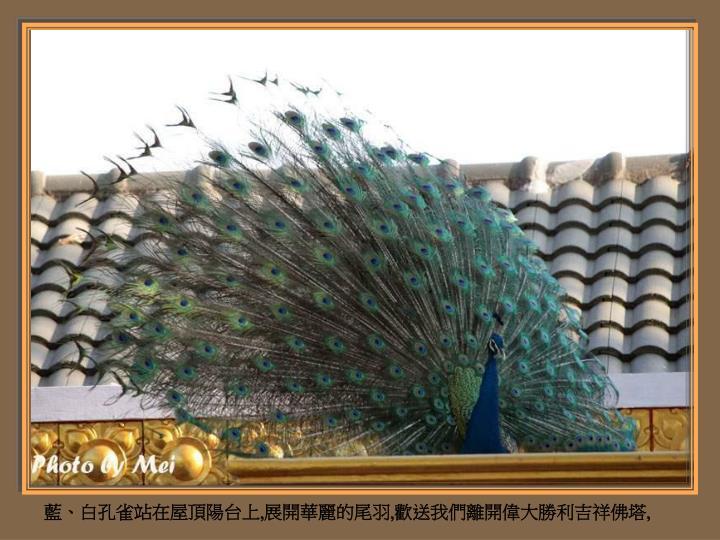 藍、白孔雀站在屋頂陽台上