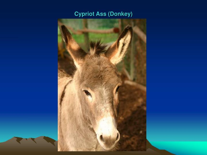 Cypriot Ass (Donkey)