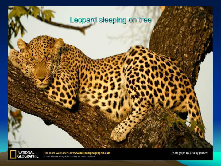 Leopard sleeping on tree