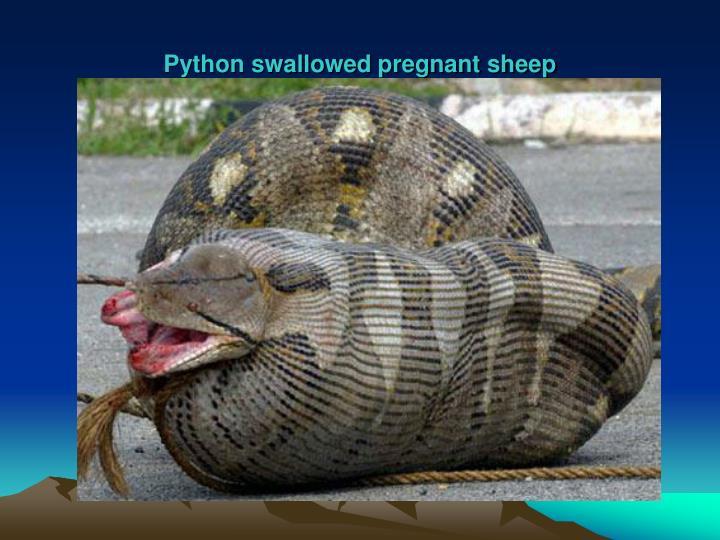 Python swallowed pregnant sheep