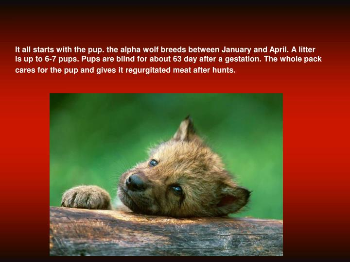 what is the lifespan of a gray wolf