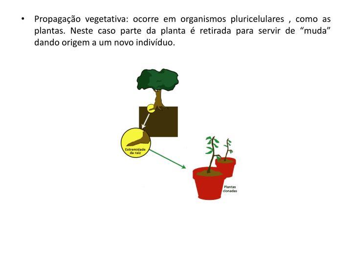 """Propagação vegetativa: ocorre em organismos pluricelulares , como as plantas. Neste caso parte da planta é retirada para servir de """"muda"""" dando origem a um novo indivíduo."""