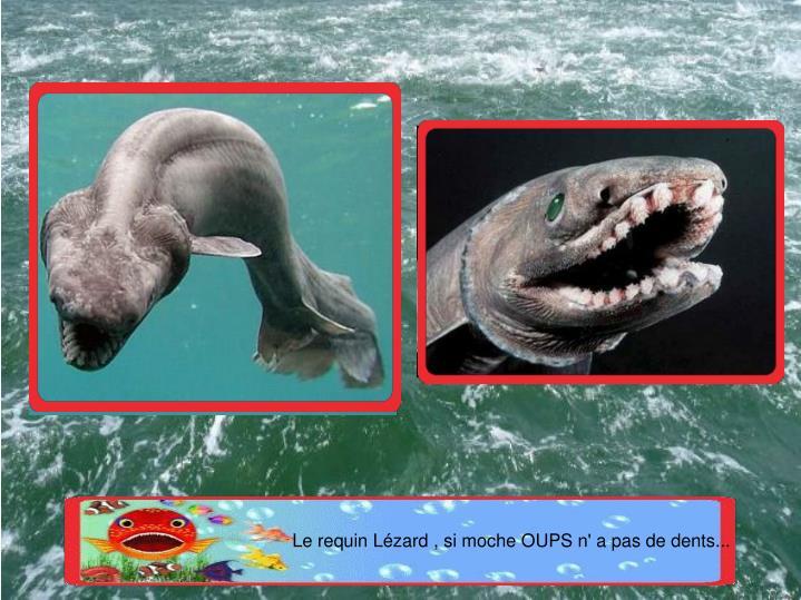 Le requin Lézard , si moche OUPS n' a pas de dents...