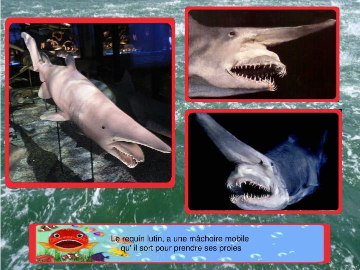 Le requin lutin, a une mâchoire mobile