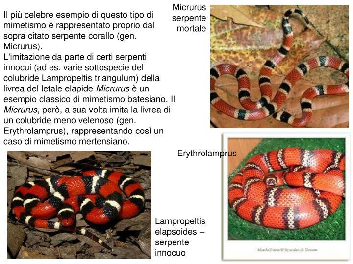 Micrurus serpente mortale