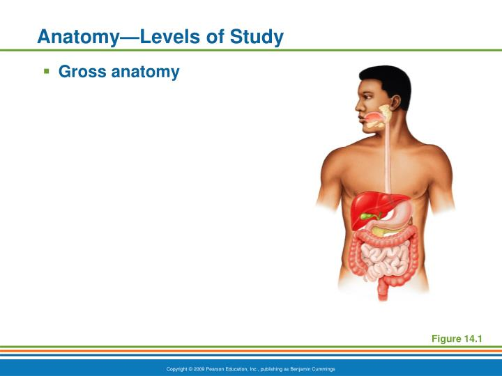 Anatomy levels of study
