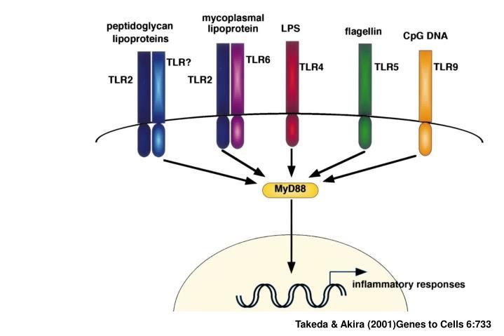 Takeda & Akira (2001)Genes to Cells 6:733