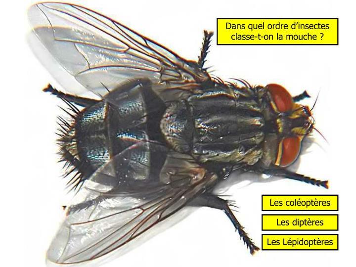 Dans quel ordre d'insectes classe-t-on la mouche ?