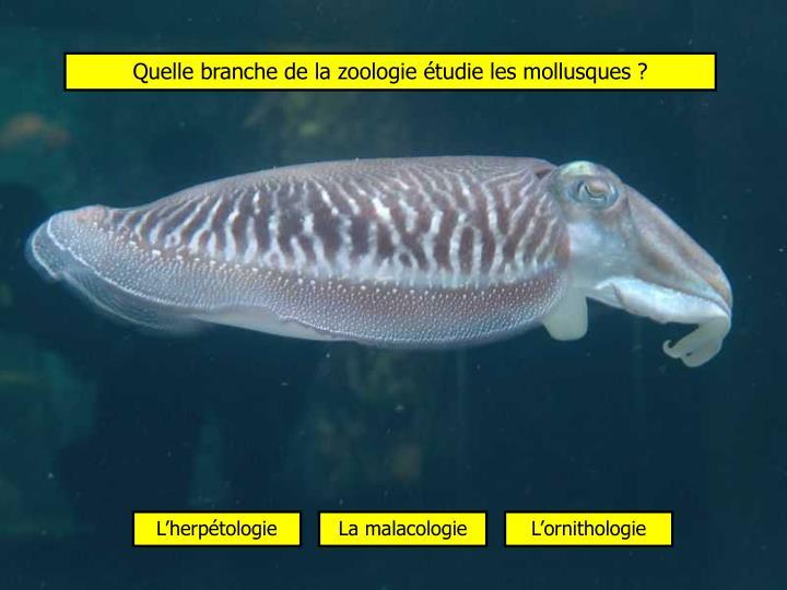 Quelle branche de la zoologie étudie les mollusques ?