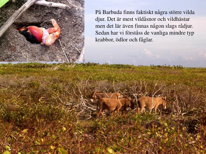 P Barbuda finns faktiskt ngra strre vilda djur. Det r mest vildsnor och vildhstar men det lr ven finnas ngon slags rdjur. Sedan har vi frstss de vanliga mindre typ krabbor, dlor och fglar.