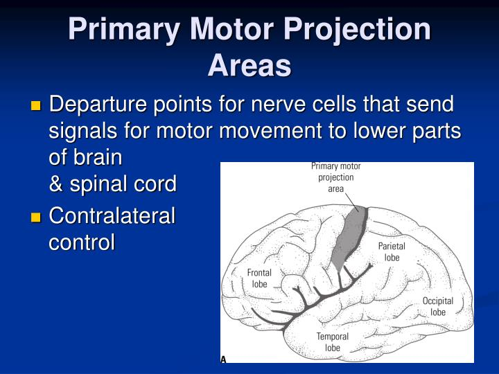 Primary Motor Projection Areas