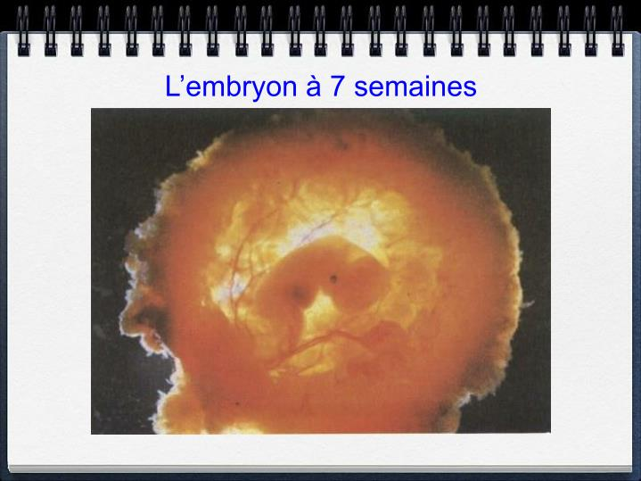 L'embryon à 7 semaines