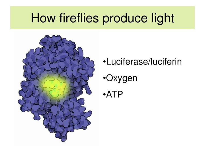 How fireflies produce light