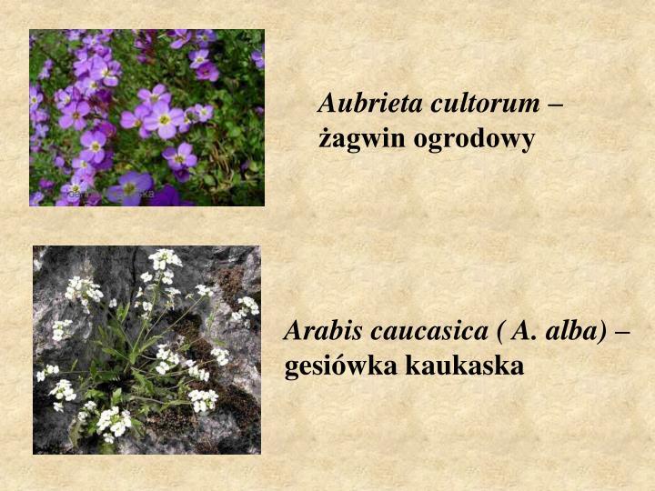 Aubrieta cultorum
