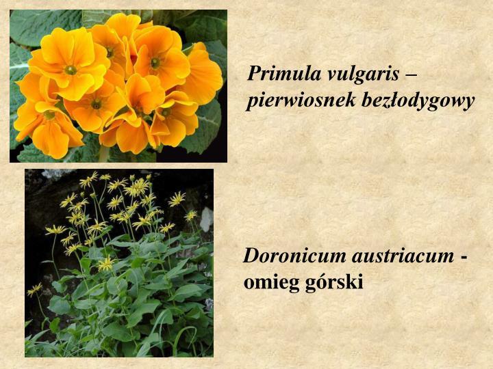 Primula vulgaris –