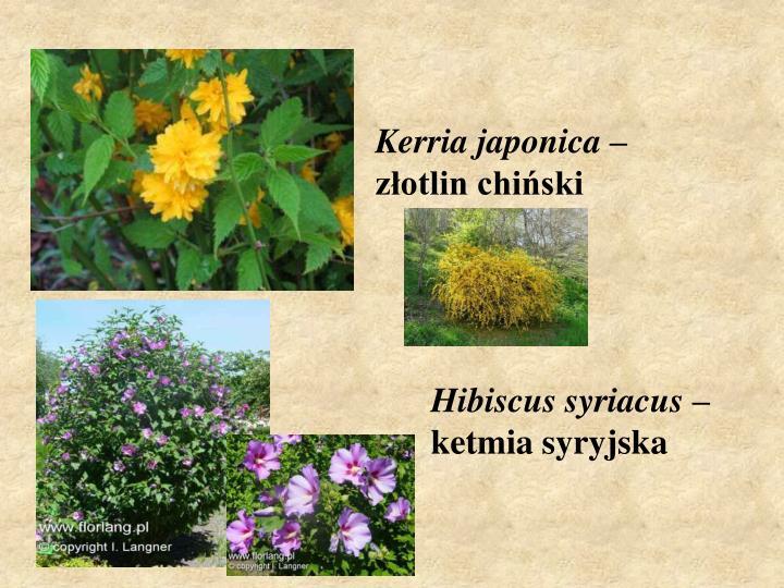 Kerria japonica –