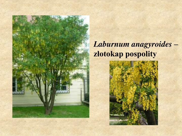 Laburnum anagyroides –