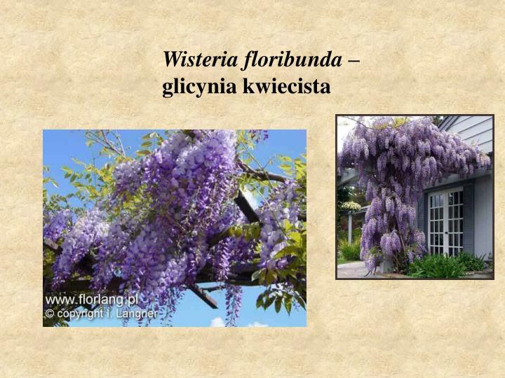 Wisteria floribunda –