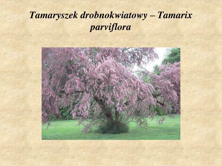 Tamaryszek drobnokwiatowy – Tamarix parviflora