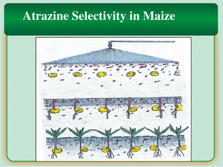 Selectivity in maize
