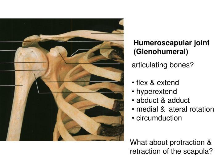 Humeroscapular joint