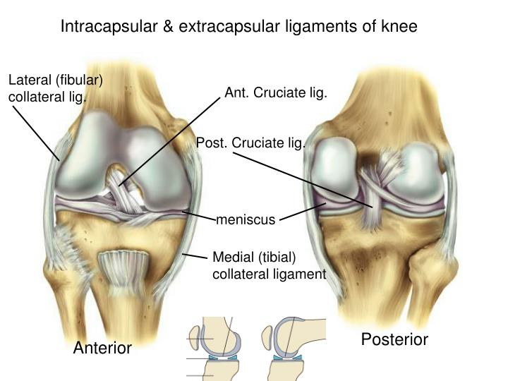 Intracapsular & extracapsular ligaments of knee