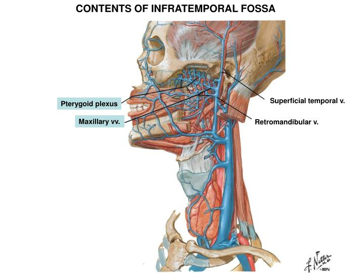 CONTENTS OF INFRATEMPORAL FOSSA