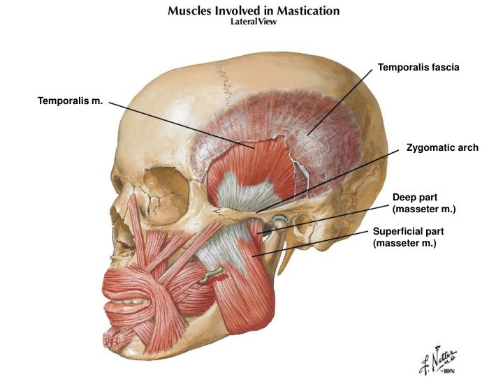 Temporalis fascia