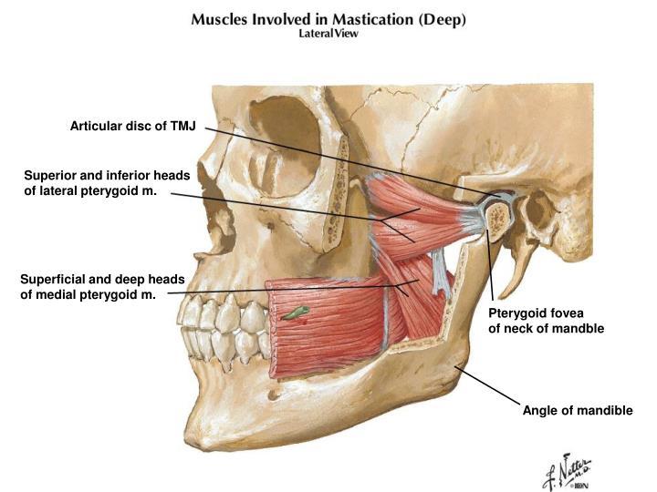 Articular disc of TMJ
