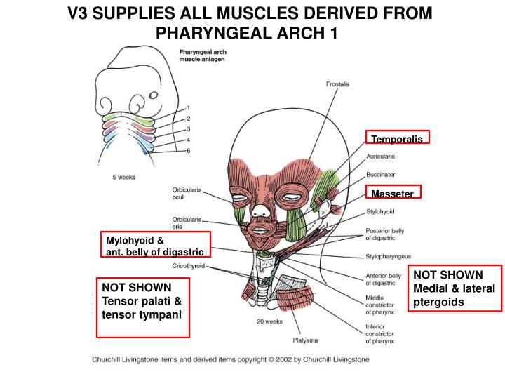 V3 SUPPLIES ALL MUSCLES DERIVED FROM