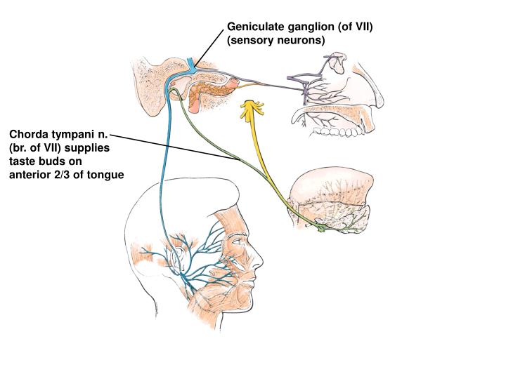 Geniculate ganglion (of VII)