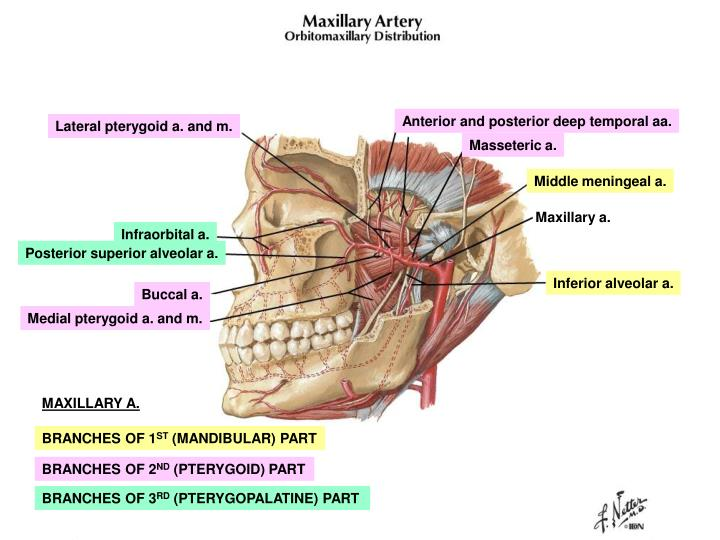Anterior and posterior deep temporal aa.