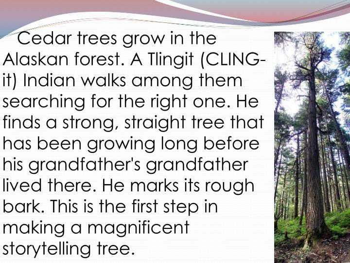 Cedar trees grow in the Alaskan forest. A Tlingit (CLING-it) Indian walks among them searching fo...