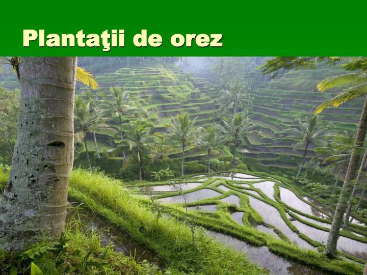Plantaţii de orez