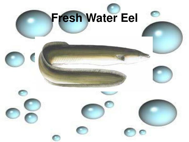 Fresh Water Eel