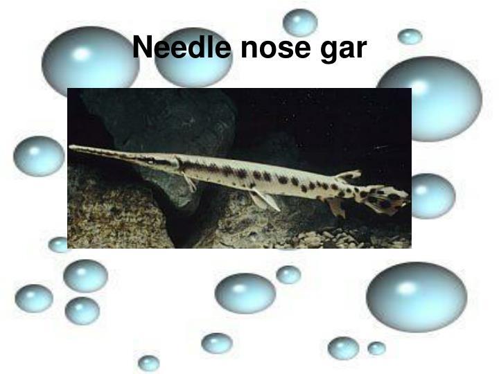 Needle nose gar