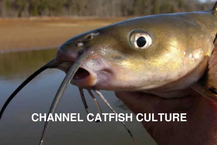 Channel catfish culture