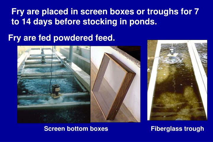 Fry are placed in screen boxes or troughs for 7 to 14 days before stocking in ponds.