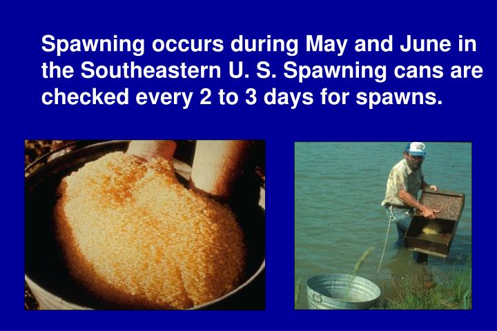 Spawning occurs during May and June in the Southeastern U. S. Spawning cans are checked every 2 to 3 days for spawns.