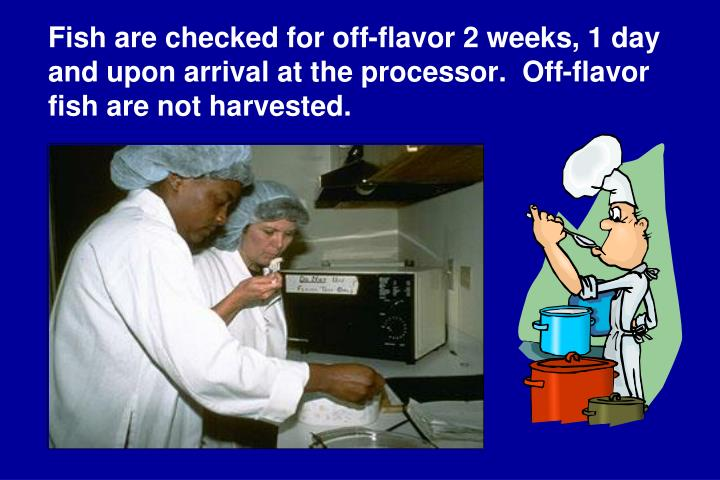 Fish are checked for off-flavor 2 weeks, 1 day and upon arrival at the processor.  Off-flavor fish are not harvested.