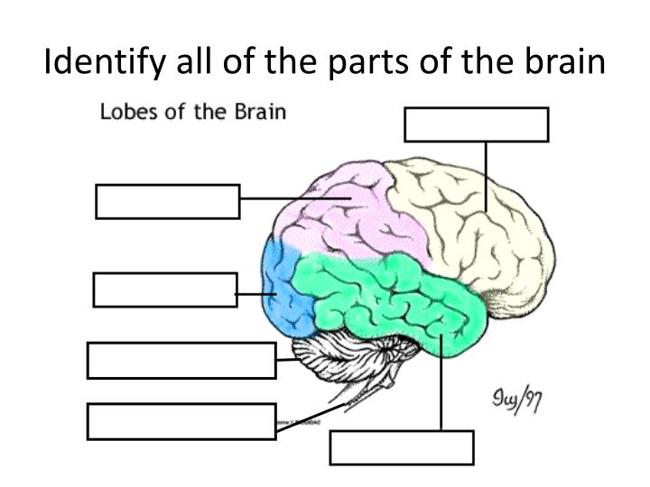Identify all of the parts of the brain