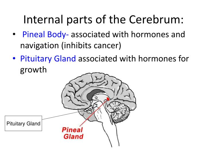 Internal parts of the Cerebrum: