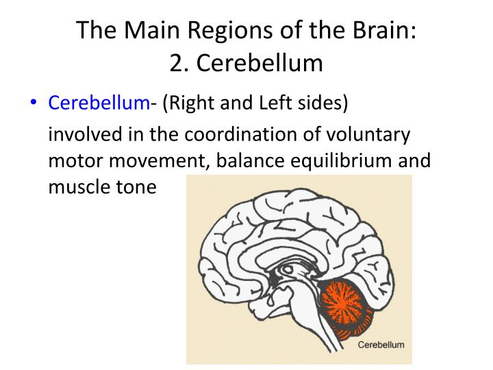 The Main Regions of the Brain: