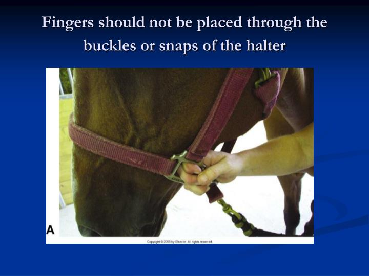 Fingers should not be placed through the buckles or snaps of the halter