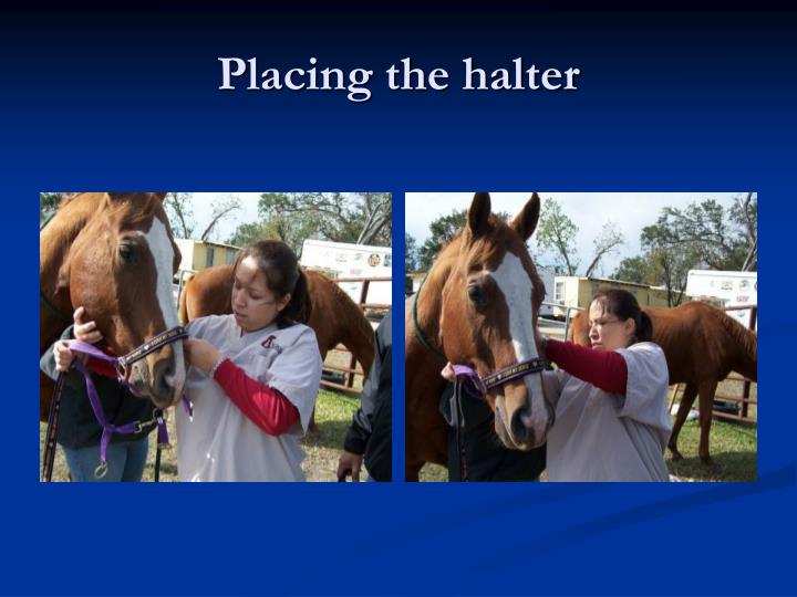 Placing the halter