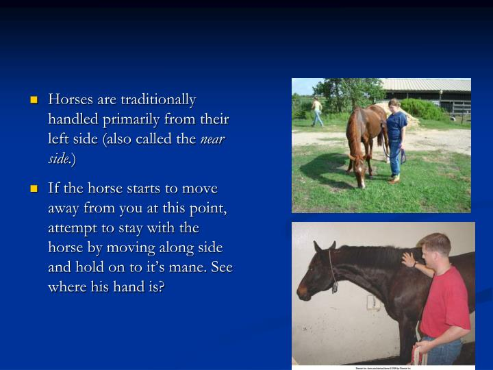 Horses are traditionally handled primarily from their left side (also called the